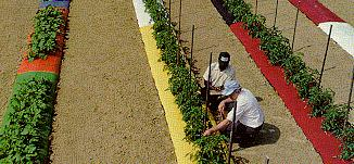 Image of researchers in field of tomatoes growing over varied colors of mulch