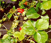 image of strawberries grown over black mulch