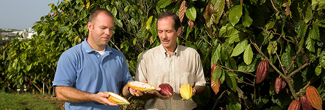 TARS maintains a genetically diverse cacao collection comprising more then 200 accessions.