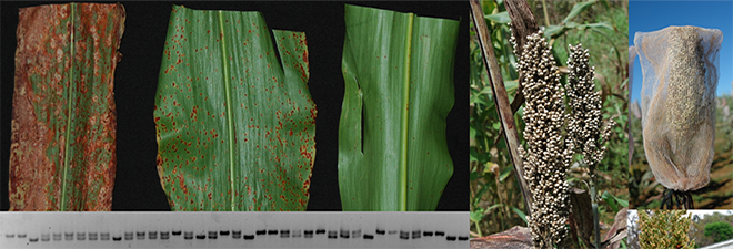 Evaluation of US sorghum collection