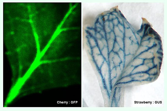 Phloem-specific expression of marker genes in transgenic cherry (left) and strawberry (right) plants.