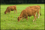 grazing_cattle_00.png