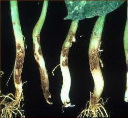 Bean stems with lesions