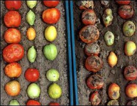 Tomatoes with Rhizoctonia fungus compared with healthy tomatoes