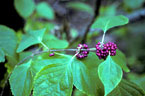 Berries and leaves of American beautyberry, Photo by Charles T. Bryson