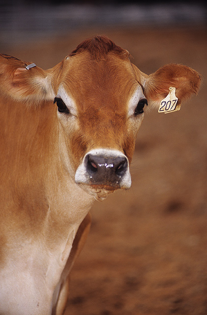 Cow , photo by Peggy Greb
