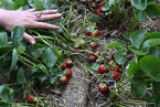 Perennial strawberries planted in compost-filled mesh socks, photo Patricia Millner