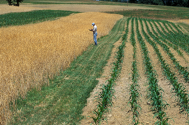 Wheat and Corn in Field, photo Charles Phillips