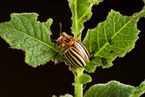 Colorado Potato Beetle, photo by Peggy Greb