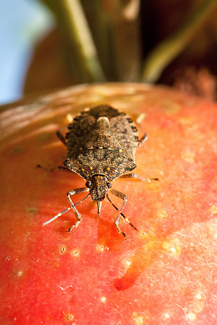 Brown Marmorated Stink Bug, photo by Stephen Ausmus