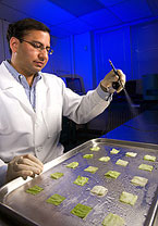 Microbiologist sprays a bacteriophage mixture on fresh-cut iceberg lettuce, Photo by Peggy Greb