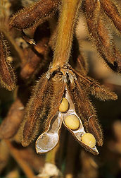Soybean pods, Photo by Scott Bauer