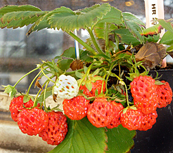 Female Strawberry Plants, photo by Tia-Lynn Ashman