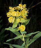Blossoms of leafy spurge, photo by ARS Information Staff