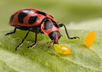 Spotted Pink Lady Beetles, photo by Peggy Greb