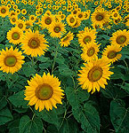Sunflowers, Photo by Bruce Fritz