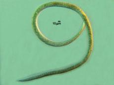Juvenile nematode Anquina Tritici