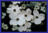 Photo of Dogwood Flowers