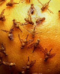 Photo of Fruit Flies