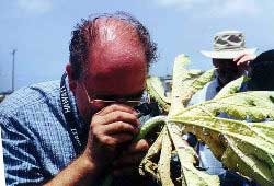 Scientist inspects infested papaya plant for signs of natural enemies