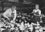 Photo: Researcher and worker with lilies in greenhouse, Beltsville Agricultural Research Center, 1940s