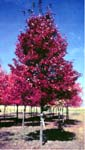 Color Photo: Red maple tree