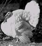 Photo: Beltsville small white turkey, 1940s