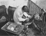 Photo: Vaccinating calf, Beltsville Agricultural Research Center, 1930s