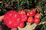 "Photo: ""Pan America""e;, first wilt-resistant tomato,  Beltsville Agricultural Research Center"