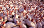 Photo: Flock of Beltsville small white turkeys, Beltsville Agricultural Research Center, n.d.