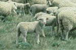 Photo: Lambs and sheep, Beltsville Agricultural Research Center