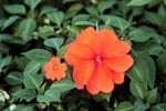 Photo: New Guinea impatiens
