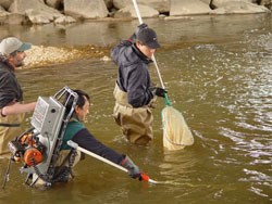 Capturing Herring downstream, photo Glenn Welch