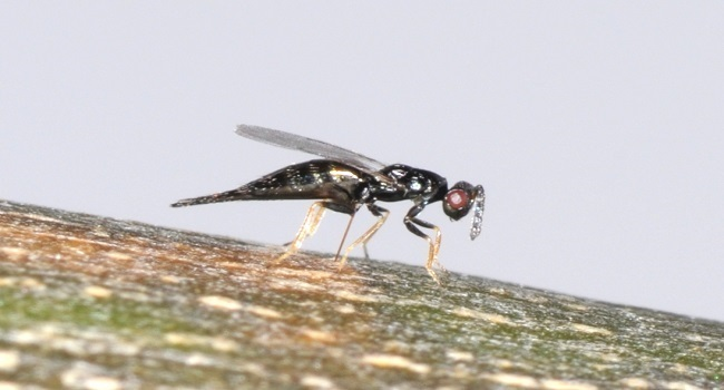 Tetrastichus planipennisi laying egg through bark into EAB. Native parasitoid cocoon with host.