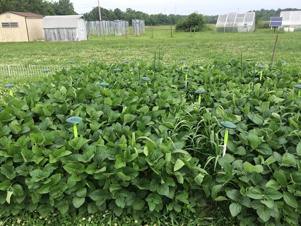 Soybeans growing in a field FACE system.