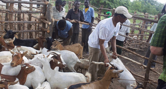 Goat ear tagging in Malawi