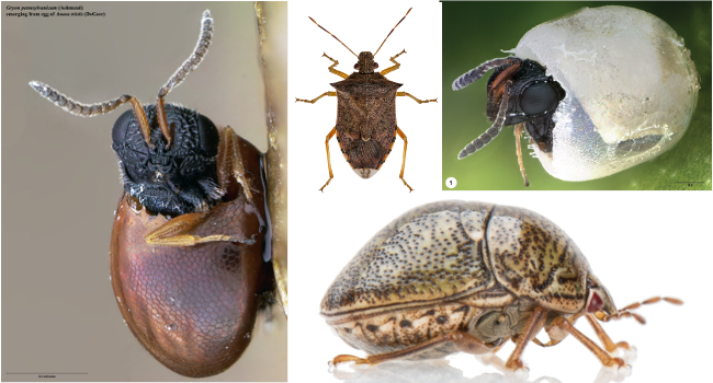 Hemipteran pests