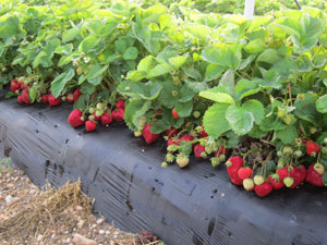 Strawberry in black plasticulture row