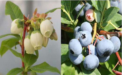 Blueberry breeding and genetics