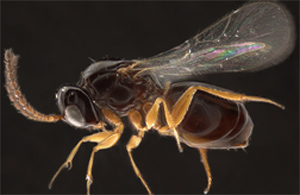 60 x magnification of an Angustocorpa wasp from South Africa (about 2.5 millimeters long).