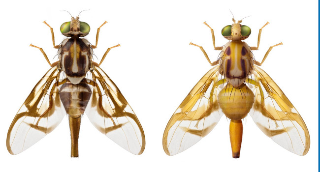 Illustrations of the fruit fly species Anastrepha serpentina and Anastrepha striata.