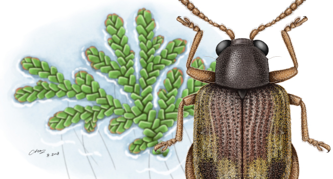 An illustration of the waterfern beetle, Pseudolampsis guttata, and its host, mosquito fern.