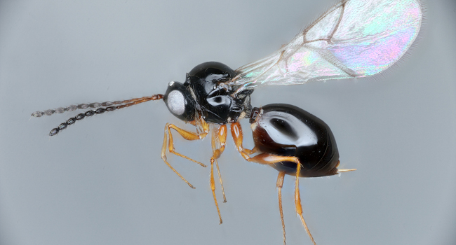 A photograph of a microparasitic wasp, Leptopilina japonica.