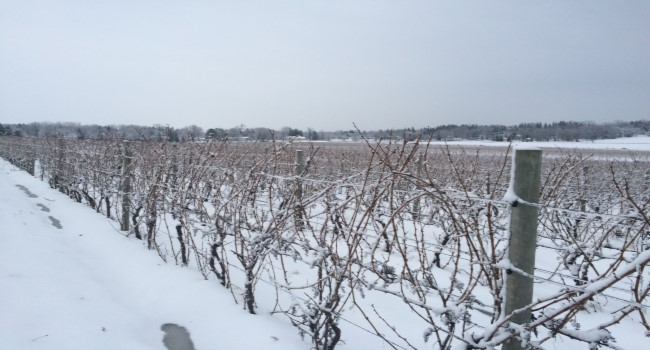 USDA cold hardy grapevine germplasm during winter conditions.