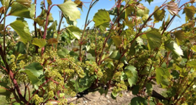 Wild grapevine (V. rupestris) is often used for rootstocks for cultivated grapes.
