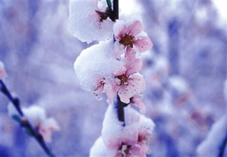 /ARSUserFiles/80800505/artlip/Blossom with snow.jpg
