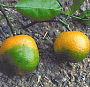 Fruit affected by citrus greening.
