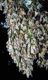 Large cluster of Monarch butterflies on tree
