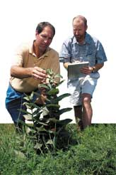 Entomologist Rich Hellmich (right) and technician Randy Ritland collect milkweed leaves near pollinating corn.
