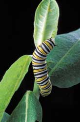 A large monarch caterpillar feeds on a common milkweed plant.